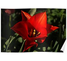 Brilliant Spring Sunshine in Red Poster