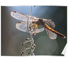 dragonfly in backlight - libélula en contraluz Poster