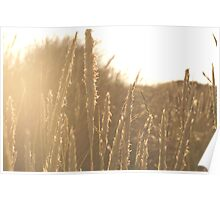 Late summer evening sunshine Poster