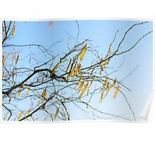Early spring with flowering alder tree  Poster