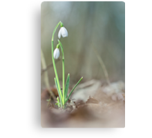 Sneaky snowdrops... Canvas Print