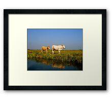 dutch cows Framed Print