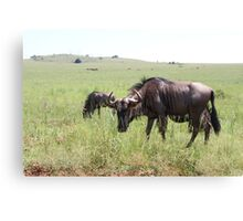 Wildebeest in South Africa Canvas Print