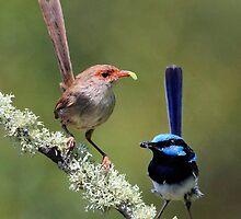 Superb Fairy wrens  by Donovan wilson