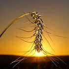 Sunset Wheat by AntonAlberts