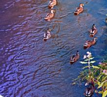 Ducks on patrol   waterscape photography Sticker