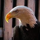 Piper the Bald Eagle by David Orr