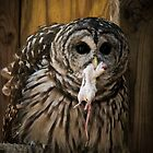 Barred Owl with Dinner by David Orr