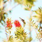 hummingbird by Carina Potts