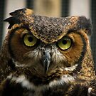 Mowgli the Great Horned Owl by David Orr