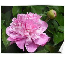 Peony Perfection in Pink Poster