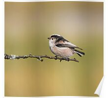 Long-tailed tit Poster