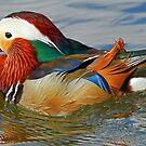A Mandarin Duck by jozi1