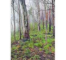 Eucalypts in the Mist Photographic Print