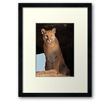 Mountain Lion Cub ~ Cruz Framed Print