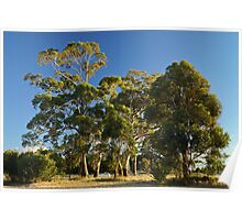Sidelit gum trees at South Arm - Tasmania, Australia Poster