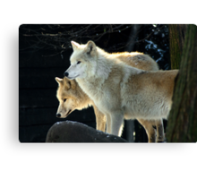 Two young wolves  Canvas Print
