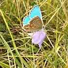 Silver-Studded Blue Butterfly by ArtemBonda