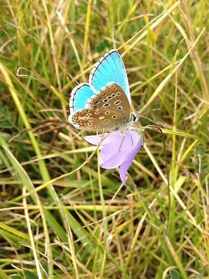 Silver-Studded Blue Butterfly by ArtemBonda