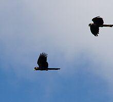 Cockatoo Flight by byronbackyard