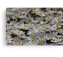 Daisies, daisies and more daisies. Canvas Print