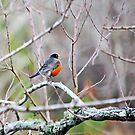 Robin by DottieDees