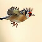 Goldfinch in Flight by Mark Hughes