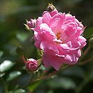 A Rose by any other name.........! by Roy  Massicks
