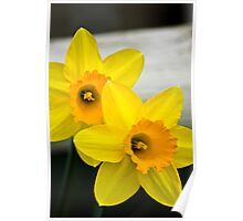 Daffodils in Full Bloom Poster