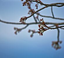 Maple Tree Ready To Bloom by chelseysue