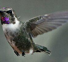 BEAUTIFUL HUMMINGBIRD IN FLIGHT by JAYMILO