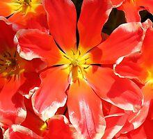 Orange Tulip by Terese Raedts