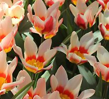 Orange, white and yellow tulip. by Terese Raedts