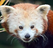 Red Panda Smile by sketchpoet