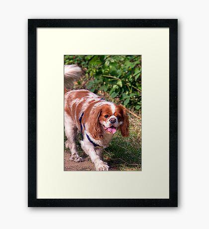 KING CHARLES SPANIEL Framed Print