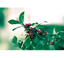 Holly bush with red berries Photographic Print