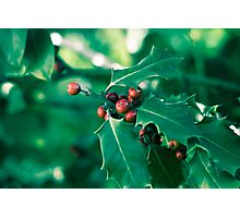Holly bush with red berries II Photographic Print