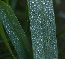 Morning Dew 2 by Lacy O.