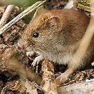 Bank Vole by Mark Hughes