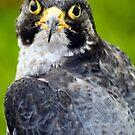 Bird of Prey by Paul Reay