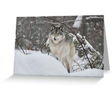 Snowy Nose - Timber Wolf aka Grey Wolf Greeting Card
