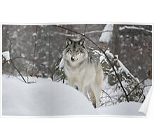 Snowy Nose - Timber Wolf aka Grey Wolf Poster