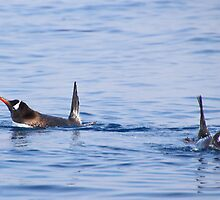 Gentoo Penguins Swimming by Carole-Anne
