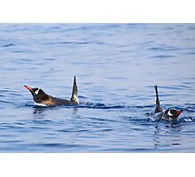 Gentoo Penguins Swimming Photographic Print