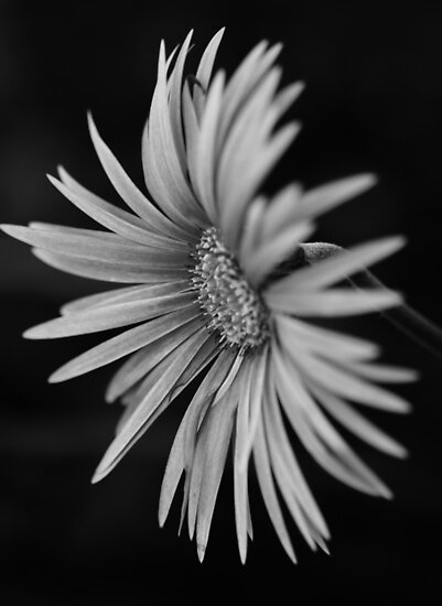 Pink in Black and White by Clare Colins