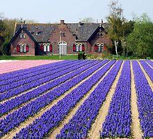 Hyacinths by Arie Koene