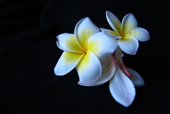 The silence of  Plumeria by joycecece