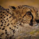Cheetah ready to pounce by Robert van Koesveld