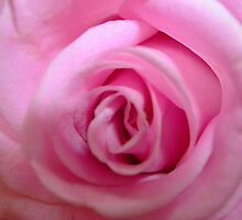 Pink rose by Ana Belaj