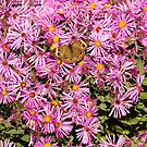 Common Buckeye and Aster 2013-1 by Thomas Young